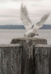 Seagull at Alki Beach